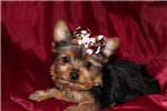 Picture of Giselle- AKC tiny Yorkie Girl...ready now!!