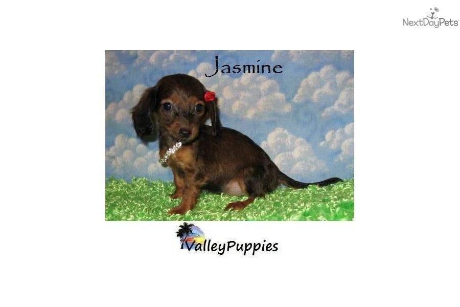 tiny-mini-dachshund-puppies-for-sale--dog-dachshund-puppy-8301d699 ...