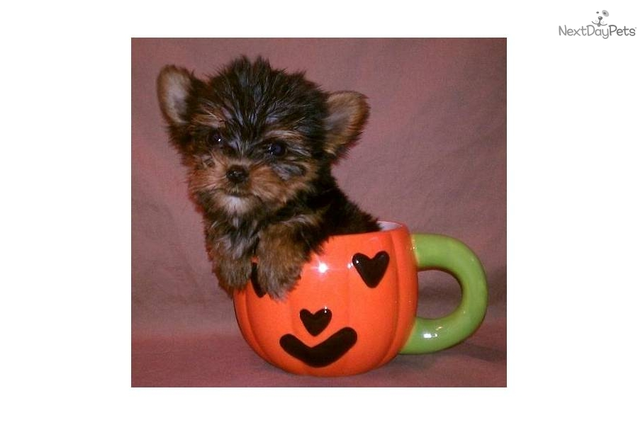 yorkie puppies for sale in mcallen tx