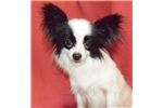 Picture of FAMILY TREASURED PAPILLONS HAZEL