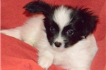 Picture of FAMILY TREASURED PAPILLONS DAX