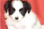 Picture of Family Treasured Papillons Hamilton