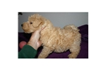 Picture of CHAMPION AKC MALE PUPPY