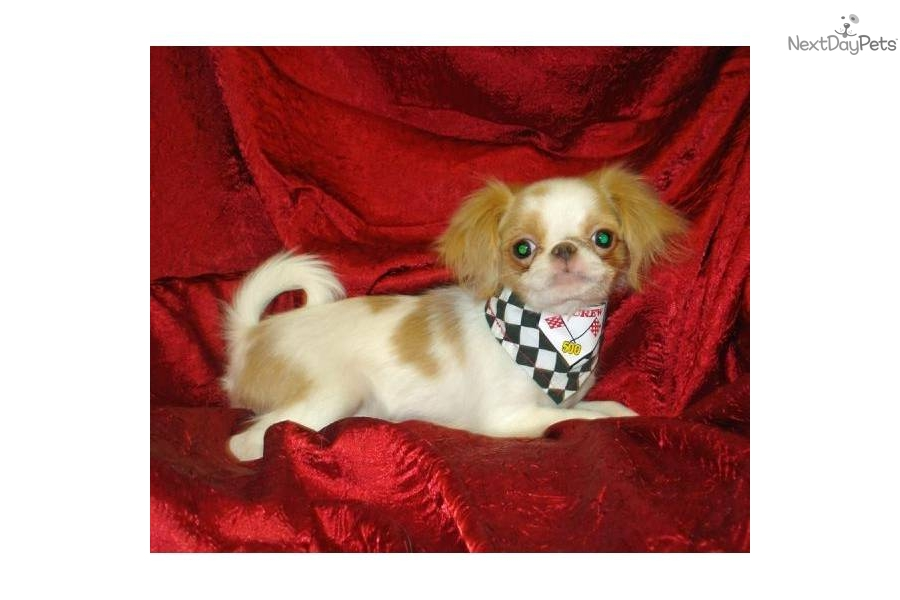 Japanese Chin For Sale For 200 Near Lawrence Kansas