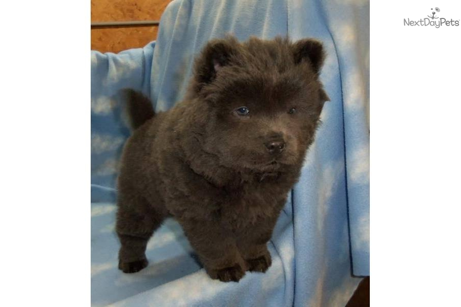 Chow Chow Puppy For Sale Near Lake Of The Ozarks Missouri