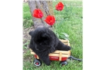Picture of AKC Black Female Chow Chow Puppy