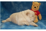 Picture of AKC Cream Male Chow Chow