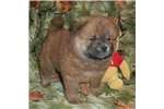 Picture of AKC Red Female.. Bailey
