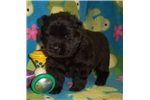 Picture of AKC Black Male Chow Chow