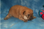 Picture of AKC Red Male Chow Chow