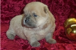 Picture of AKC Cinnamon Female Chow Chow Puppy