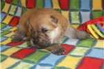 Picture of AKC Red Male .. Teddy