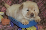 Picture of AKC Cream Female Chow Chow