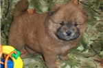 Picture of AKC Red Female.. Brandy