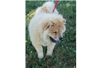 Picture of AKC Red Male Chow Chow Puppy