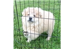 Picture of AKC Cinnamon Male Chow Chow Puppy