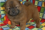 Picture of AKC Red Male .. Biker