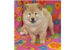 Picture of AKC Cream Female Chow Chow Puppy