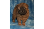 Picture of AKC Red Male .. Bruno