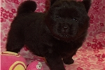 Picture of AKC Black Female Chow Chow