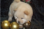 Picture of AKC Cream Male Chow Chow Puppy
