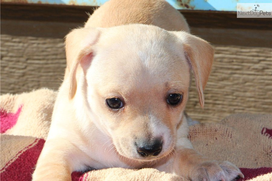 1 Female Available Chihuahua Puppy For Sale Near Tulsa