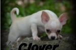 Picture of Gorgeous cream & Cream & Tan Pups