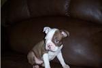 Picture of Boston Louie
