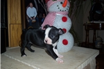 Picture of Boston named  Jewel