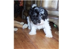 Picture of Havanese male Tucker