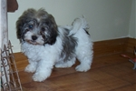 Picture of Havanese female Sadie Sue