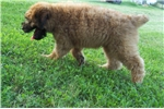 Picture of Wheaten male  Bear