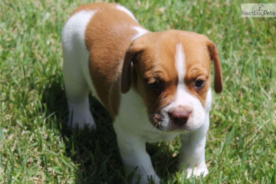 Beabull puppy for sale near Jonesboro, Arkansas | 26c91a07 ...