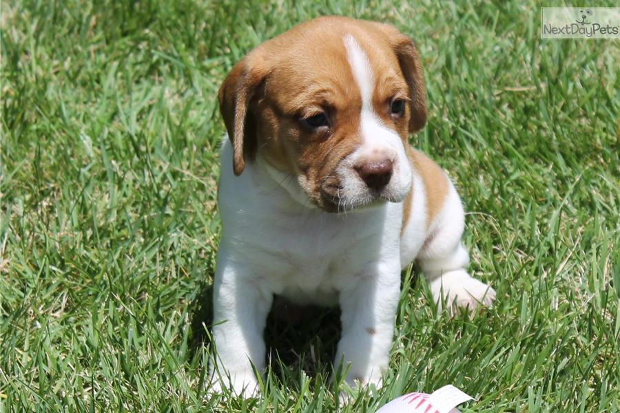 Beabull puppy for sale near Jonesboro, Arkansas | 26c91a07-2aa1