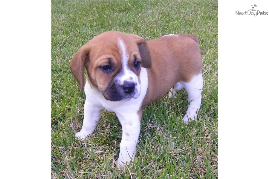 Beagle Bulldog Mix Puppies