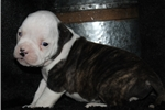 Picture of Bruiser-Male (Shipping Included!)
