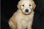 American Bulldog for sale