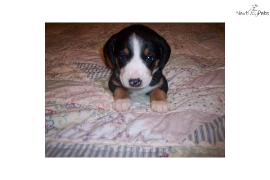 Entlebucher Mountain Dog For Sale Near Me