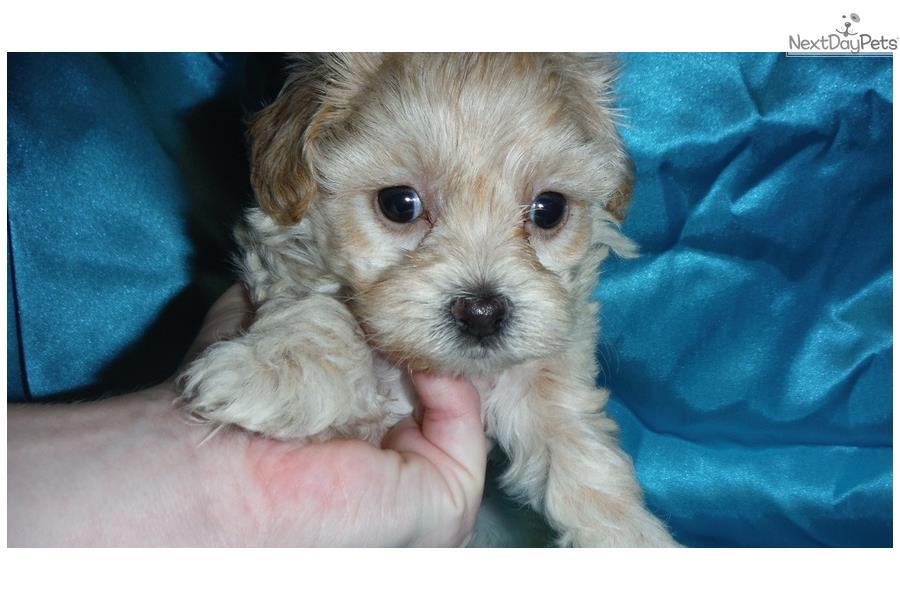 ... Malti Poo - Maltipoo puppy for sale near Cookeville, Tennessee