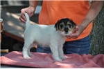 Picture of Double Registered Parson (Jack) Russell