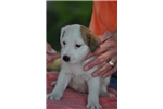 Picture of Double Registered AKC UKC Parson (Jack) Russell