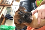 Picture of AKC Sissy female Boxer