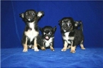 Featured Breeder of Chihuahuas with Puppies For Sale