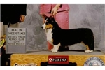 Featured Breeder of Cardigan Welsh Corgis with Puppies For Sale