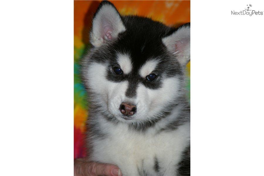 Siberian huskies for sale in missouri