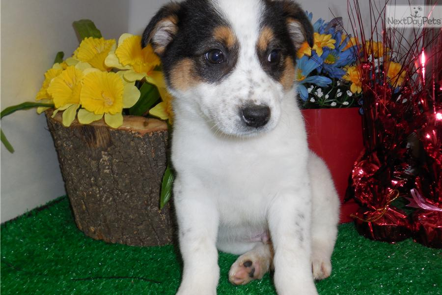 Related Pictures border collie dog information and pictures border ...