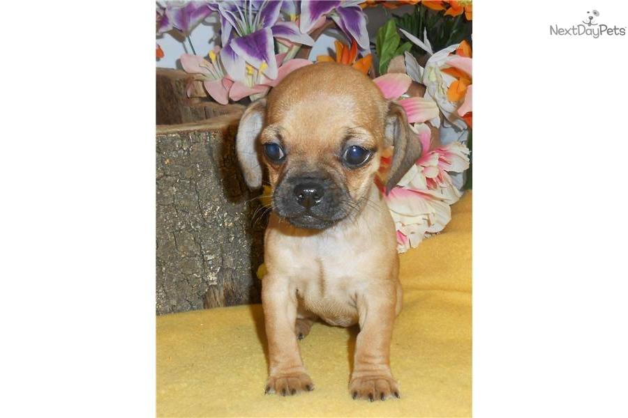 Pug Dachshund Mix Temperament   Dog Breeds Picture