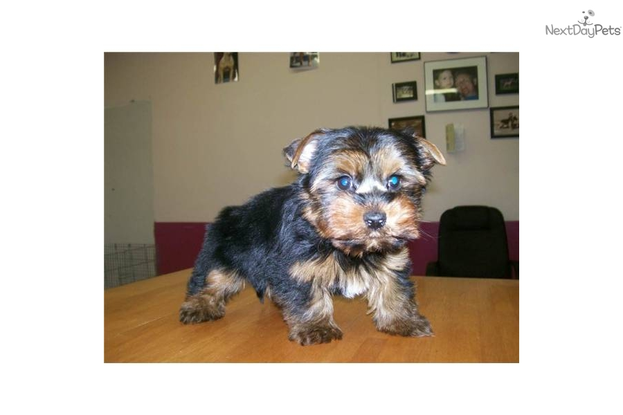 Yorkie Shire Puppy   Dog Breeds Picture