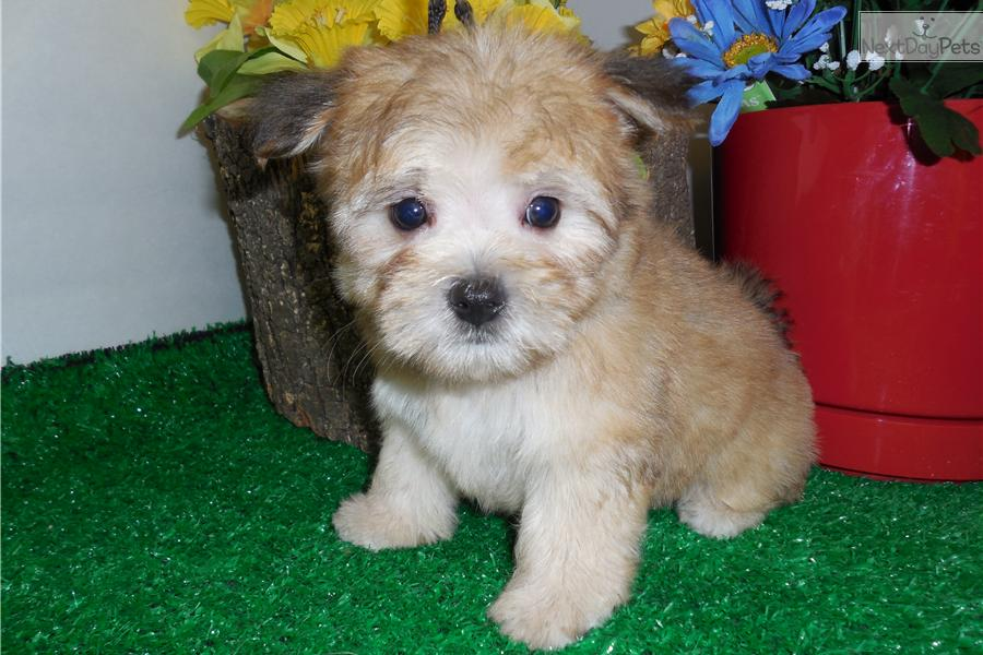 morkie yorktese puppy for sale near columbus ohio 75a33278