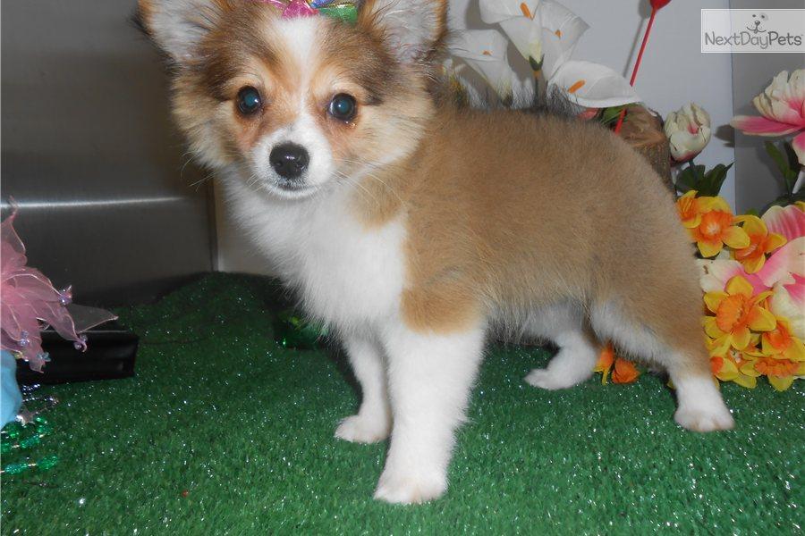 pomchi puppy for sale near chicago illinois f17a0ca79111